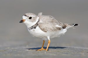 Image of a Piping plover to accompany news release on Piping Plovers